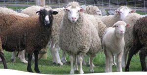 توزیع گوشت گوسفند قربانی